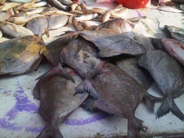 full_black-pomfret-Indonesia_1